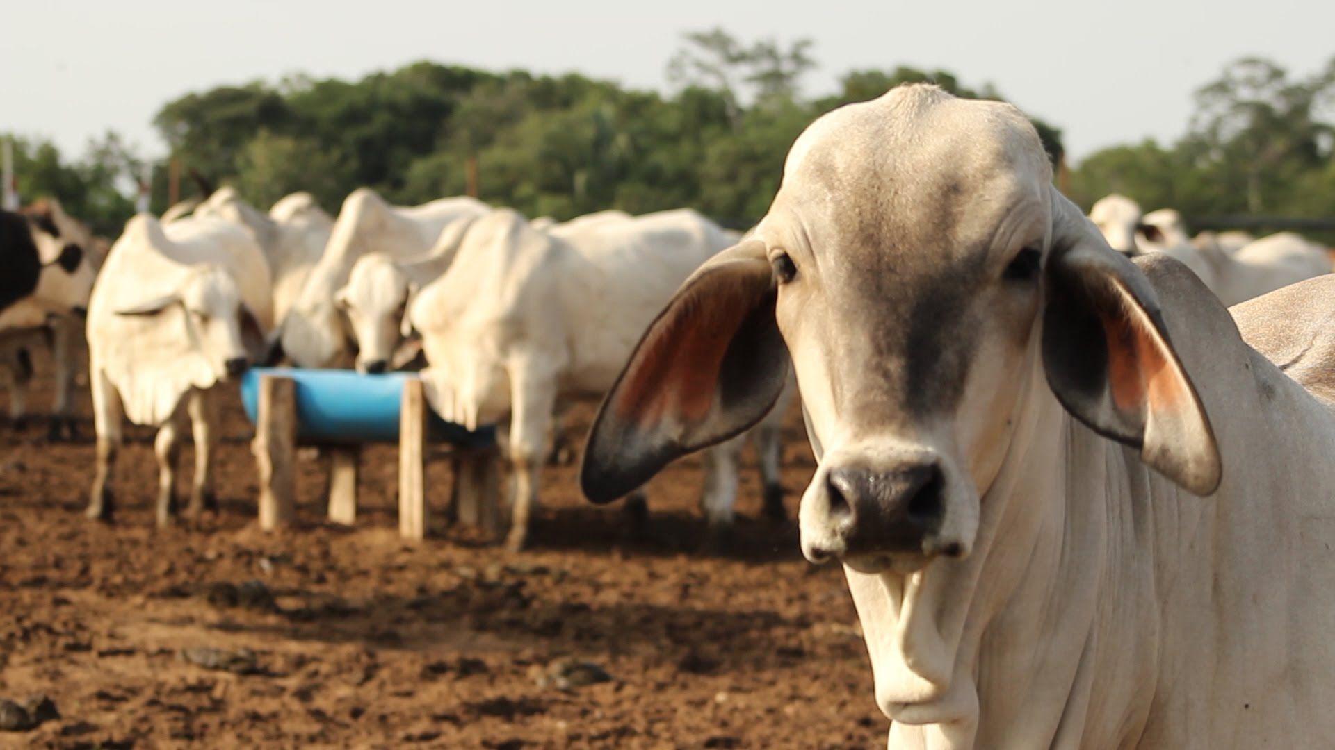 DESDE LA CÁMARA ALERTAN SOBRE POSIBLE CRISIS SANITARIA EN SAN VICENTE DEL CAGUÁN… 900 mil cabezas de ganado estarían en riesgo